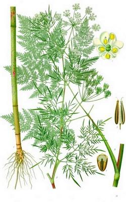 Graphical Abstract : Franz Eugen Köhler, Köhler's Medizinal-Pflanzen, Public domain, via Wikimedia Commons